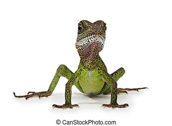 Water dragon lizard (Physignathus cocincinus) isolated on...