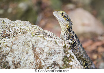 Water Dragon resting on a rock.