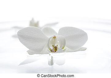 water, drijvende bloem, orchidee