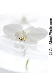 water, drijvende bloem, witte , orchidee