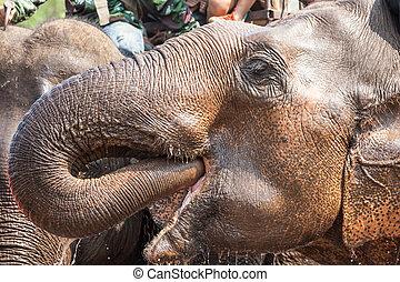 Water drinking elephant