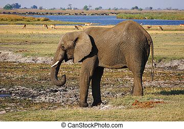 water, drinkt, afrikaanse olifant