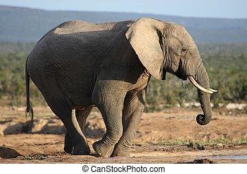 water, drinkt, elefant, afrikaan, stier