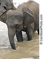 water, drinkt, elefant