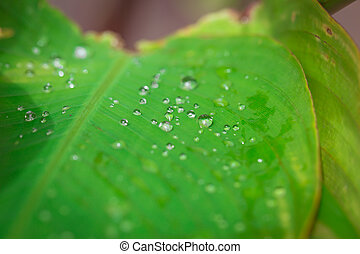 Water Drop on green leaf.