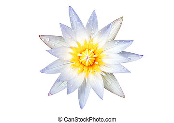 Water drop on lotus flower white. White lotus flower isolated on white background. File contains with clipping path.