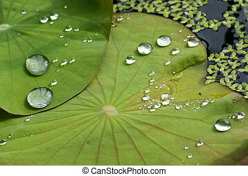 A Fallen water laying on lotus leaf in a water pot