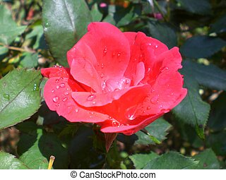 water droplet red flower (1)
