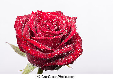 water droplets on a beautiful red rose
