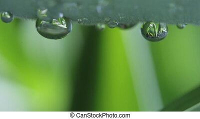 Water droplets on the surface of a flower leaf. Clear liquid...