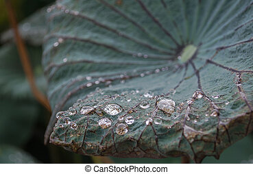 Water droplets with lotus lea