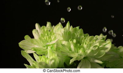 Water dropping onto fresh flowers in slow motion
