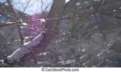 Water drops falling down of a little snowflakes melting in the branches of a tree. Spring background. Spring bright landscape close up