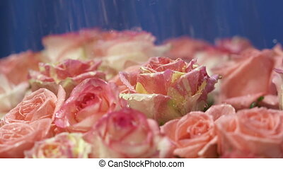 Water drops falling with splashes on petals of pink roses flowers in slow motion