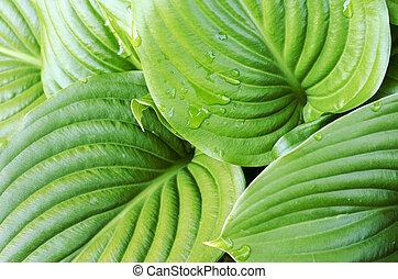 Water drops of hosta leaf