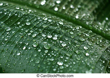 Water drops on banana leaves in the rainy season.