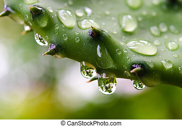 Water Drops on Cactus