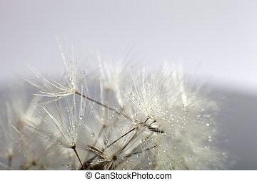 Water drops on dandelion - extreme macro