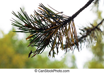 Water drops on fir tree after rain
