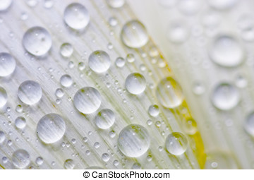 water drops on flower - water drops on white flower in...