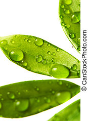 Water drops on fresh green leaves. Isolated on white background