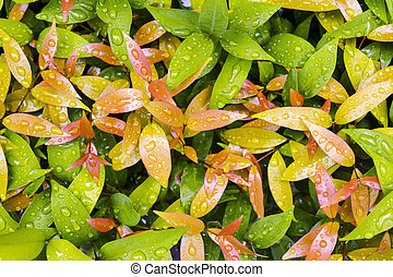 Water drops on leaves in rainy day