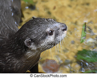 Water Drops on the Face of a River Otter