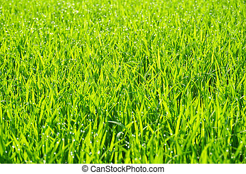 Water drops on the green grass background (dew)