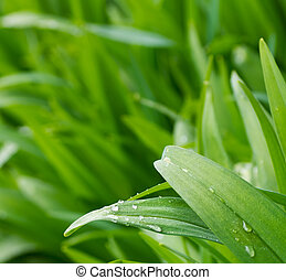Water drops on the spring green plant
