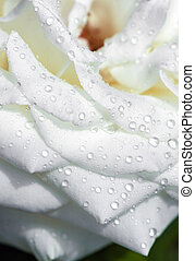 Water drops on white rose flower.