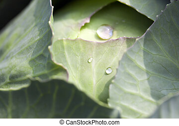 green cabbage after the rain