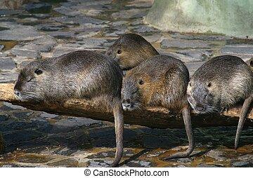 Water dwelling nutrias