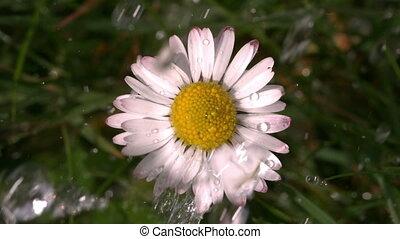 Water falling on daisy in garden in slow motion