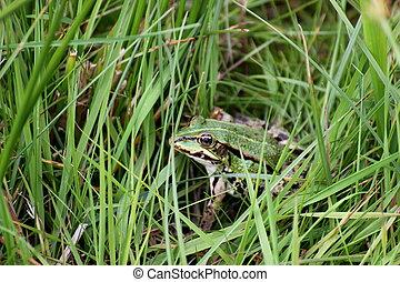 Water frog (Pelophylax) sitting in grass.