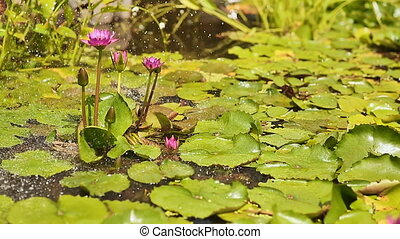 Water garden. Purple pink water Nymphaea in a pond with a fountain. Spray droplets.