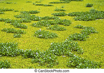 Water hyacinth and water lettuce. - Water hyacinth and water...