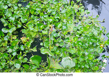 Water hyacinth cover wastewater