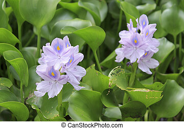 Water Hyacinth (Eichhornia crassipes) - A pond covered with ...