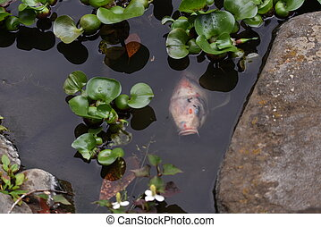 Water hyacinth (Eichhornia crassipes) growing in the pond.