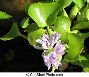 Water hyacinth (EICHORNIA)