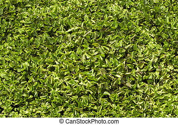 Water hyacinth green , background texture