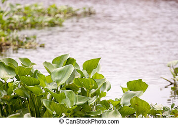 Water hyacinth - Green water hyacinth in the river.
