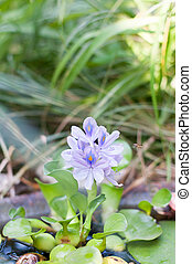 Water hyacinth in a home pond