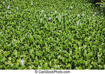 Water Hyacinth in Everglades National Park, Florida - ...