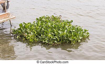 water hyacinth in rever