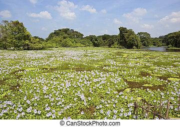 water hyacinth in sri lanka - sri lanka landscape with water...