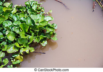 water hyacinth in Thailand