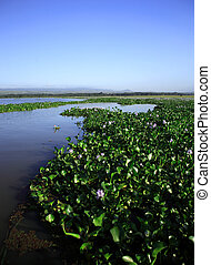 Water Hyacinth on Lake Naivasha Kenya Africa
