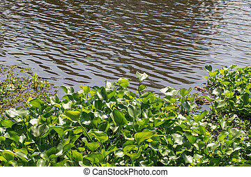 water hyacinth on river.