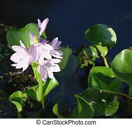 Water Hyacinth - profile of light purple water hyacinth